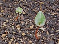 Lympha net ciclamini fai da te facilissimo - Terriccio fertile ...